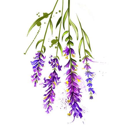 Lavendel isoliert. Lavandula oder Lavendel. Blühende Pflanze aus der Familie der Lippenblütler, Lamiaceae. Lavandula angustifolia. Kräuter Gewürze. Gesundes Essen natürliche Bio-Pflanze. Kosmetischer Inhaltsstoff. Digitale Kunst.