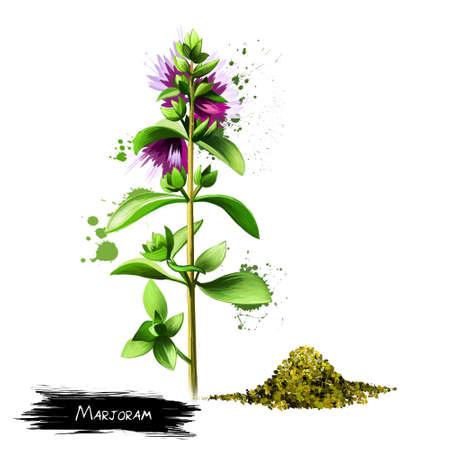 Marjoram plant and seeds isolated on white. Origanum majorana, Majorana hortensis Moench, Majorana majorana cold-sensitive perennial herb or undershrub with sweet pine and citrus flavors. Digital art.