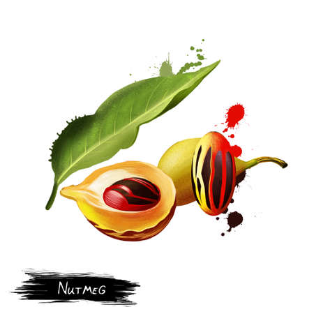 Nutmeg plant isolated on white. Ripe colorful red nutmeg fruit, seeds Kerala India. Spices known as pala and red mace. Herbs and spices collection. Digital art illustration, natural food Imagens