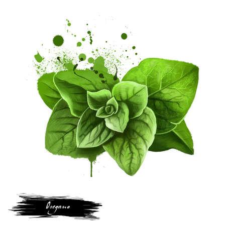 Oregano sprigs or majoram green kitchen herb. Origanum vulgare. Common species of Origanum, genus of mint family Lamiaceae. Herbs spices. Healthy food natural organic plant. Wild marjoram Zdjęcie Seryjne