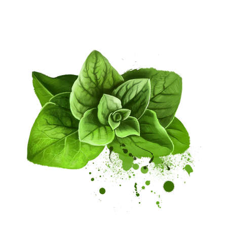 Oregano sprigs or majoram green kitchen herb. Origanum vulgare. Common species of Origanum, genus of mint family Lamiaceae. Herbs spices. Healthy food natural organic plant. Wild marjoram Stockfoto