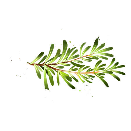 Watercolor rosemary branch and flowers. Rosmarinus officinalis. Woody, perennial herb with fragrant, evergreen, needle-like leaves and pink, purple, blue flowers. Member of the mint family Lamiaceae