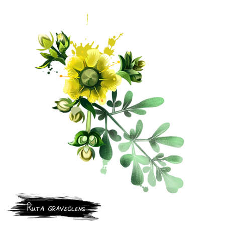 Common rue ruta graveolens flowering plant isolated on white. Herb-of-grace, species of Ruta grown as an ornamental plant and as an herb. Ruta flower. Herbs and spices collection. Digital art.