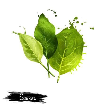 Common sorrel or garden sorrel Rumex acetosa. Spinach dock and narrow-leaved dock. Cultivated as a garden herb or leaf vegetable pot herb. Herbs and spices collection. Digital art illustration Banco de Imagens