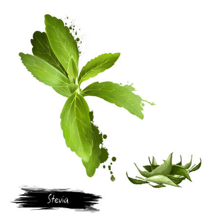 Stevia leaves fresh and dried. Sweetener and sugar substitute extracted from the leaves of the plant species Stevia rebaudiana. Labels for Essential Oils and Natural Supplements. Digital art image Banco de Imagens