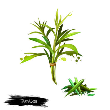 Tarragon Artemisia dracunculus Isolated on white background. Estragon. Cultivated for culinary and medicinal purposes. Fresh and dried tarragon. Herbs and spices collection. Digital art illustration Banco de Imagens