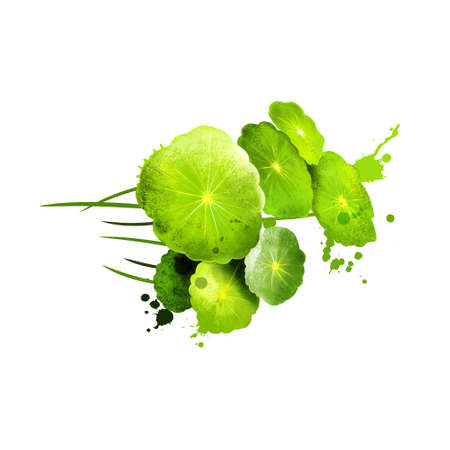 Watercress isolated on white background. Watercress is an aquatic plant species with the botanical name Nasturtium officinale. Herbs and spices collection. Digital art. Botanical illustration.