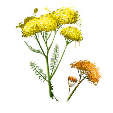Yellow flowering yarrow plant fresh and dried. Achillea millefolium, commonly known as yarrow or common yarrow. Plumajillo. Labels for Essential Oils and Natural Supplements. Digital art image
