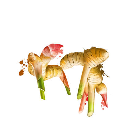 Galangal root isolated on white. Galangal is a rhizome of plants in ginger family Zingiberaceae, with culinary and medicinal uses originating in Indonesia. Herbs collection. Digital art illustration Banco de Imagens