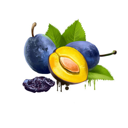 Damson or damson plum, damascene isolated on white. Edible drupaceous fruit, subspecies of plum tree. Small plum-like fruit with distinctive, astringent taste. Used for culinary purposes. Digital art