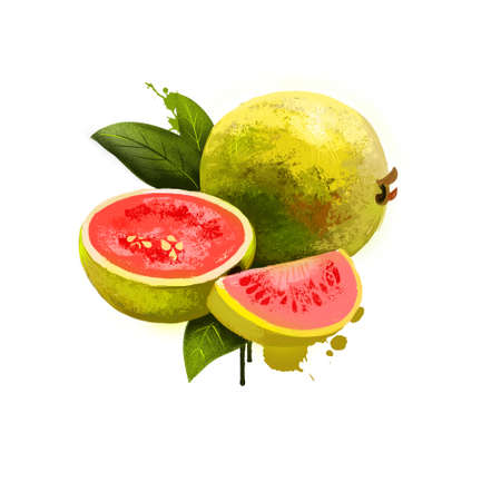 Guava fruit isolated on white background. Ripe apple guavas common tropical fruits, Myrtaceae family. Fresh tasty fruit colorful drawing with paint splashes and drips. Digital art design illustration.
