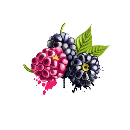 Blackberries isolated on white background. Blackberry is an edible fruit produced by many species in the Rubus genus in the Rosaceae family. Used for culinary purposes. Fruits collection. Digital art Banco de Imagens