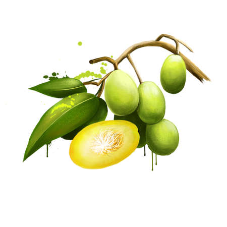 Spondias dulcis known commonly as ambarella. Equatorial or tropical tree, with fruit containing a fibrous pit. Kedondong, buah long long, pomme cythere, june plum, juplon, golden apple, golden plum