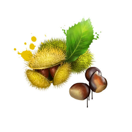 American Chestnuts with leaves and spiny burrs. Chestnuts are edible raw or roasted. Considered the finest chestnut tree in the world. Fruits of the world collection. Digital art illustration