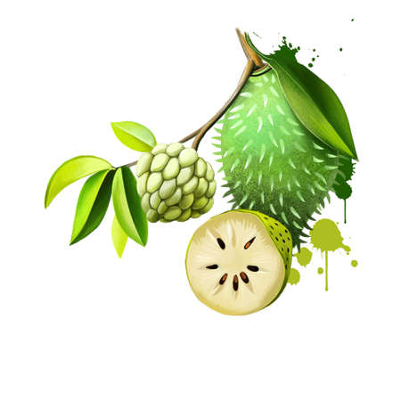 Custard apple fruit, Annona squamosa. Annona species are taprooted, evergreen or semideciduous, tropical trees or shrubs. Guanabana, Graviola and Soursop. Fruits of the world collection. Digital art Banco de Imagens
