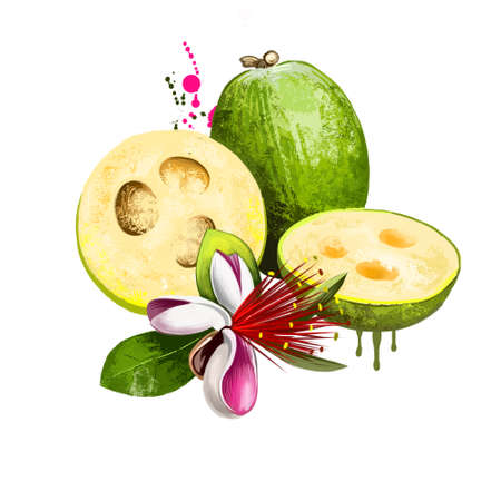Feijoa fruit isolated on white background. Pineapple guava fruit of Myrtaceae family. Tasty evergreen shrub fruit of Acca sellowiana. Colorful drawing with paint splashes and drips. Digital art design Banco de Imagens