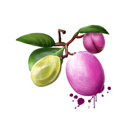 Icaco fruit isolated on white. Chrysobalanus icaco, the cocoplum, Paradise Plum and icaco. Fruit of the coastal form. Botanic concept. Digital art illustration Banco de Imagens