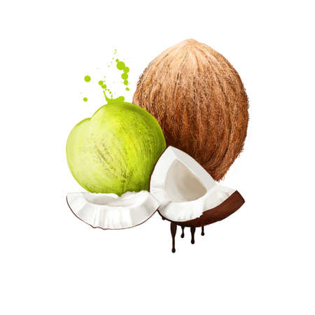 Coconut tree Cocos nucifera isolated on white. Family Arecaceae palm family and only species of genus Cocos. Coconut palm, seed, or fruit, which is drupe not nut. Food and cosmetics. Digital art.
