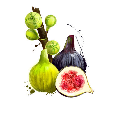 Common fig fruit isolated on white background. Asian specie of flowering plants in the mulberry family. Fig maturation step crop. Ficus carica, moraceae family tasty . Digital art design illustration Banco de Imagens