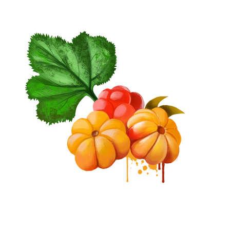 Cloudberry isolated on white. Rubus chamaemorus is rhizomatous herb. Amber-colored edible fruit. Cloudberry, bakeapple, knotberry, knoutberry , aqpik or low-bush salmonberry, averin or evron. Banco de Imagens