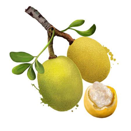 Branch of marula fruit with leaves isolated. Sclerocarya birrea medium tree. Jelly plum, cat thorn, morula, cider tree, marula, maroola nut plum, Maroela. Digital art illustration. Plant and fruit Banco de Imagens