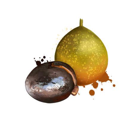 Mayan isolated. Breadnut or Maya nut. Figs and mulberries. Ramon, ojoche, ojite, ojushte, ujushte, ujuxte, capomo, mojo, ox, iximche masica uje mojote chokogou Digital art illustration Plant and fruit