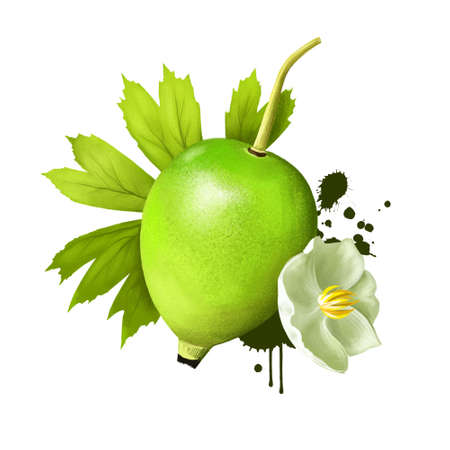 Mayapple flower and fruit isolated. Mayapple or podophyllum is herbaceous perennial plant. Used in medicine as as an emetic, cathartic, antihelmintic agent. Digital art illustration. Plant and fruit Фото со стока