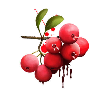 Mayhaw isolated on white. Crataegus aestivalis, known as the eastern mayhaw, shrub or small tree. Use in making mayhaw jelly. Digital art illustration. Plant and fruit. Fruits of the world collection Фото со стока