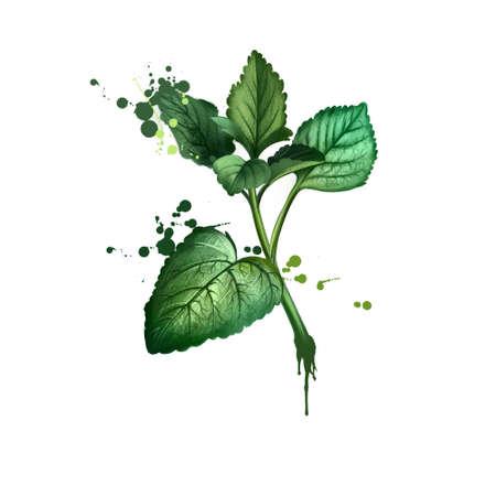 Melissa graphic illustration. Digital. Melissa officinalis. Lemon balmMelesa, Melessa Meliza Mellisa Melosa and Molissa. Herbs spices. Healthy food natural organic plant. Kitchen herbs spices banner.