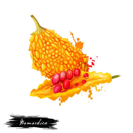 Momordica fruit isolated on white background. Bitter melon or Momordica charantia, small shrubs perennial, family Cucurbitaceae. Fresh fruit colorful drawing with paint splashes and drips. Digital art