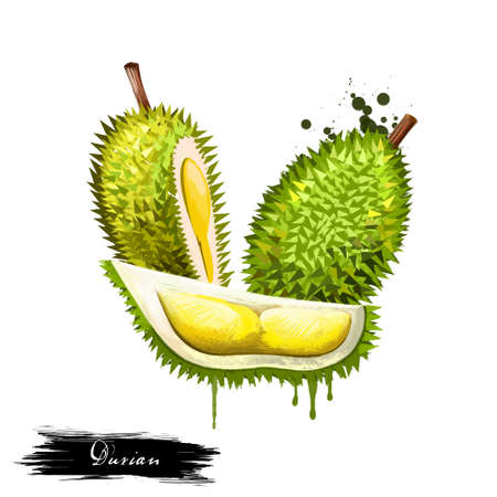 Durian fruit isolated on white background. Asian specie of genus Durio, Malvaceae family. Tasty fruit with bad smell. Colorful drawing with paint splashes and drips. Digital art design illustration 版權商用圖片
