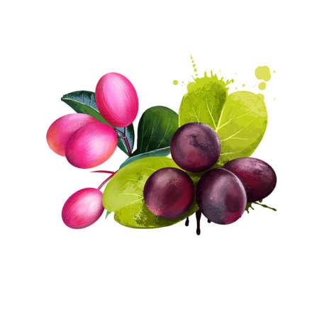 Karonda isoated on white background. Karanda or Caranda fruit. Carissa carandas. Produces berry-sized fruits used as condiment in pickles and spices. Crane berry. Karonda. Karauna. Digital art 版權商用圖片