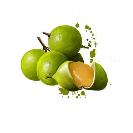 Mamoncillo delicious tropical fruit isolated. Melicoccus bijugatus Spanish lime genip guinep genipe ginepa quenepa quenepe chenet canepa mamon limoncillo skinip kinnip. Digital art illustration