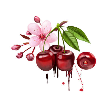 Cherry fruit and blossom isolated on white background. Wild cherry. Ornamental cherry. Sakura blossom. Used for culinary purposes. Red cherry with leaves. Fruits collection. Digital art illustration 版權商用圖片