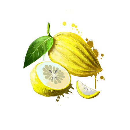 Citron isolated on white. Citron large fragrant citrus fruit with thick rind, botanically classified Citrus medica, half of citrus, slices. Used for culinary purposes. Fruits collection. Digital art