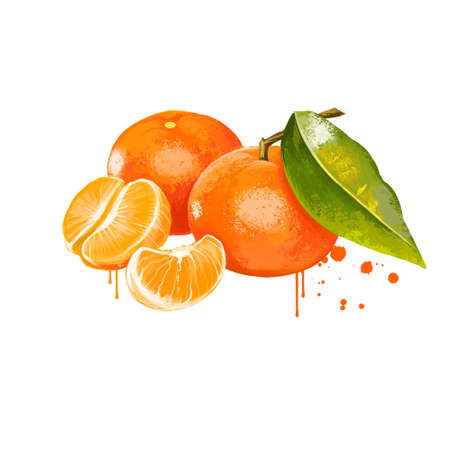 Clementine isolated on white. Clementine Citrus clementina is a hybrid between a Mediterranean Citrus deliciosa and sweet orange. Orange juicy tangerine. Fruits collection. Digital art illustration 版權商用圖片