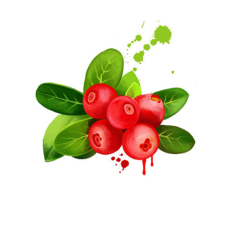 Cranberry berries isolated on white background. Evergreen dwarf shrubs, trailing vines in Oxycoccus of genus Vaccinium. Wild cranberry with leaves. Northern, small, large cranberry. Digital art