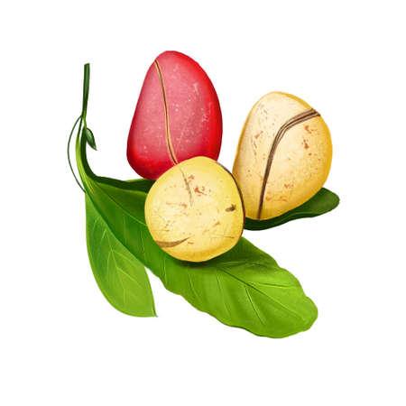 Kola nut fruits with leaves illustration isolated on white. Drawing of kola nut, natural stimulant, coke ingredient, botanic. Kola tree. Caffeine-containing nut. Used ceremonially. Digital art
