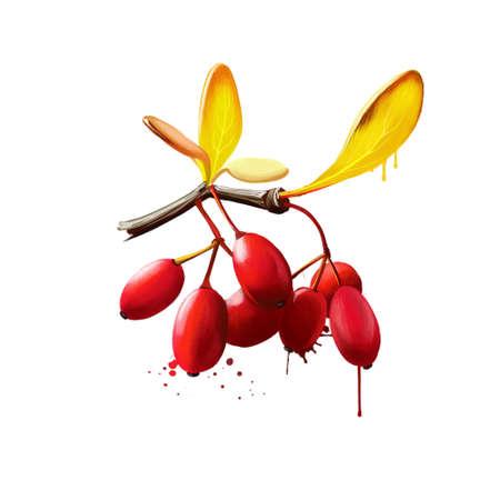 Barberry or Berberis isolated. Large genus of deciduous and evergreen shrubs. European or American barberry, Berberis vulgaris. Edible berries, rich in vitamin C, with sharp acid flavour. Digital art Stock Photo