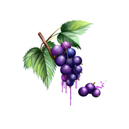 Blackcurrant isolated on white. Blackcurrant Ribes nigrum is a woody shrub in family Grossulariaceae grown for piquant berries. Used for culinary purposes. Fruits collection. Digital art illustration Stock fotó