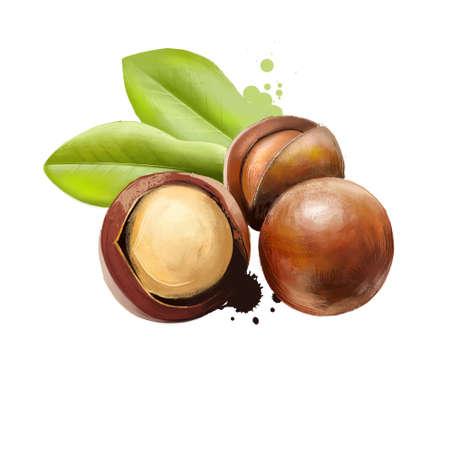 Macadamia nut isolated on white background. Queensland nut, bush nut, maroochi nut, bauple nut, and Hawaii nut. Tasty snack. Peeled and unpeeled nuts. Fruits collection. Digital art illustration.