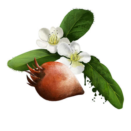 Medlar fruit and flowers isolated on white. Mespilus germanica, the medlar or common medlar. Eaten when bletted. Mespilus canescens. The loquat. Fruits of the world collection. Digital art. Watercolor