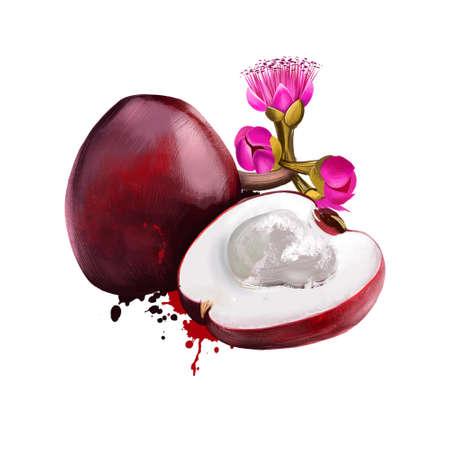 Malaya apple, rose apples or chomphu isolated on white. Syzygium malaccense species of flowering tree. Jamaican apple. Otaheite apple. Fruits of world collection. Digital art illustration