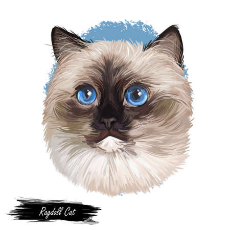 Ragdoll Cat cat breed with color point coat and blue eyes. Digital art illustration of pussy kitten portrait, feline food cover design, veterinary vet clinic label. Fluffy domestic pet, t-shirt print Imagens