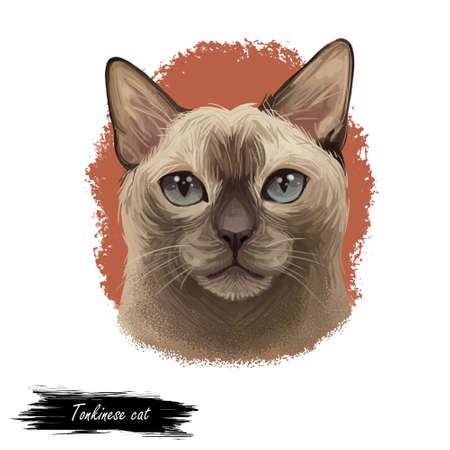 Tonkinese cat, Male Tonkinese Cat isolated on white. Domestic cat breed, crossbreeding between Siamese and Burmese. Digital art illustration of pussy kitten portrait, feline food cover, pussy kitten