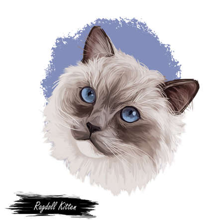 Ragdoll Cat kitten breed with color point coat and blue eyes. Digital art illustration of pussy cat portrait, feline food cover design, veterinary vet clinic label. Fluffy domestic pet, t-shirt print