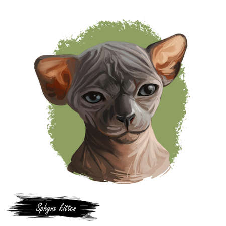 Sphynx kitten breed known for lack of coat fur isolated. Digital art illustration of pussy cat portrait, feline food cover design, veterinary vet clinic label. Fluffy domestic pet, t-shirt print