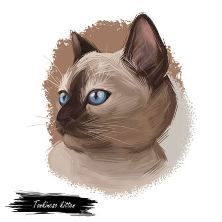 Tonkinese kitten, Male Tonkinese Cat isolated on white. Domestic cat breed, crossbreeding between Siamese and Burmese. Digital art illustration of pussy tabby portrait, feline food cover, pussy kitten Stockfoto