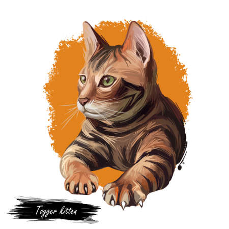 Toyger kitten breed of domestic cat isolated on white. Domestic shorthaired tabbies, toy tiger. Digital art illustration of pussy kitten portrait, fluffy domestic pet t-shirt print hand drawn animal.