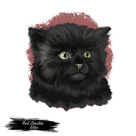 York Chocolate American breed of show cat, with long, fluffy black coat. Digital art illustration pussy kitten portrait, fluffy domestic pet t-shirt print hand drawn tabby, domestic long-haired cat